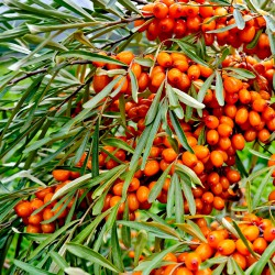 Sea buckrthorn in the wild